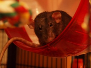 Dark brown dumbo rat sitting in an exercise wheel and looking curious