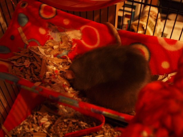 Rowan asleep in a red hammock full of shredded cardboard bedding