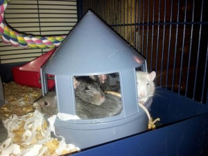 Rats sleeping in a chicken feeder